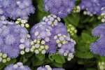 Ageratum houstonianum Blue Hawaii 5.0
