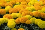 Tagetes erecta F1 Discovery mix