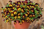 Viola wittrockiana Cool Wave Fire