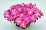 Petunia hybrida trailing Success Pink Morn