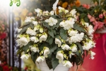 Begonia tuberhybrida Nonstop Joy white