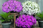 Petunia hybrida trailing Success