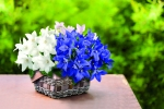 Campanula carpatica F1 Clips White and Blue