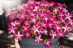 Petunia hybrida trailing Success Pink Star