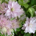 Клематис Clematis DANCING®TM QUEEN 'Zodaque' PBR & PP